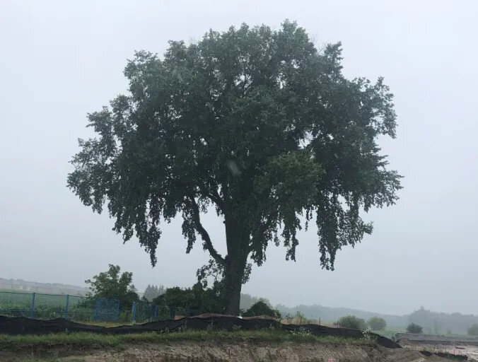 old elm tree.jpg